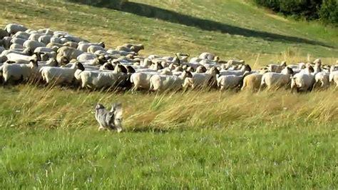 australian herding herding miniature australian shepherd quot quot schafe h 252 ten 1 mal