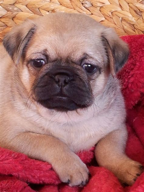 pugs look like 3 4 pugs look like pugs huddersfield west pets4homes
