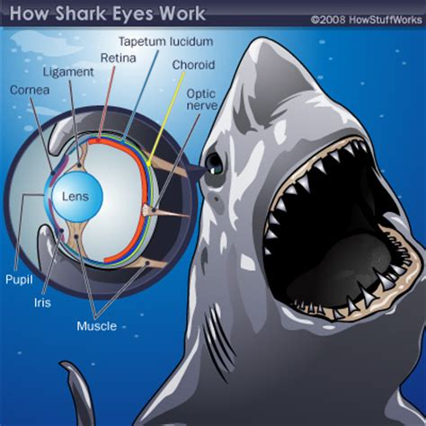 shark eye diagram shark senses sight shark senses sight howstuffworks