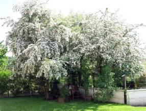 hawthorn tree statue tree