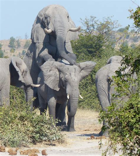 Elephant Matting by Mating Elephants Get Busy On Safari Africa Geographic