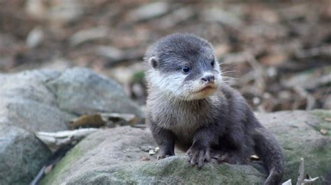 taronga s miracle otter pup explores outside world for the