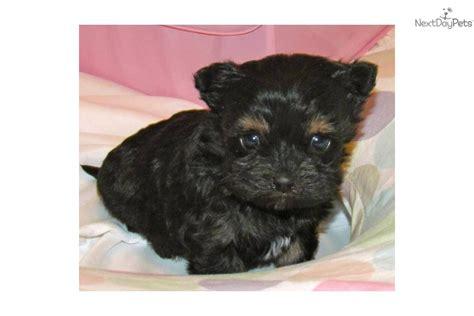 havanese puppies chicago havanese puppy for sale near kenosha racine wisconsin f6fa4d96 78e1