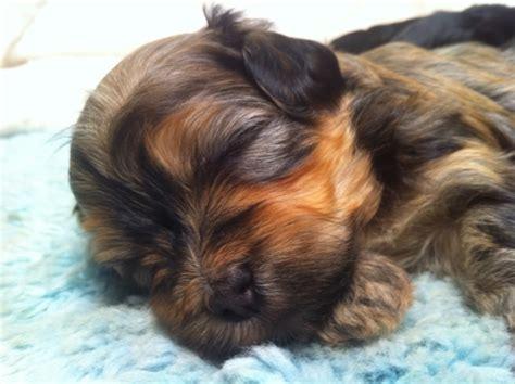 brindle havanese pictures brindle havanese puppies xenia castle havanese breeders breeds picture