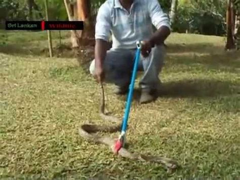 how to catch a snake in the house how to catch a snake cobra youtube