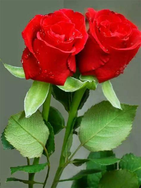 imagenes bonitas rosas rojas m 225 s de 25 ideas incre 237 bles sobre rosas rojas en pinterest