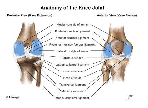 human anatomy diagram articular cartilage injury muscle knee joints