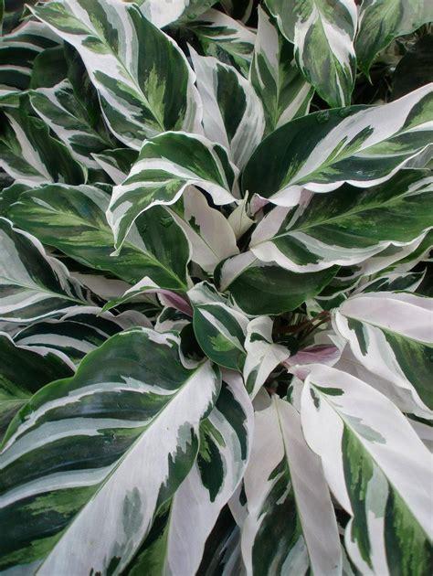 Tanaman Calathea White Fushion Berkualitas photo of the leaves of peacock plant maranta lietzei fusion white posted by denisesgarden