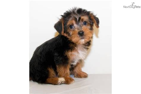 yorkie doodle puppies for sale micro teacup pomeranian for sale breeds picture