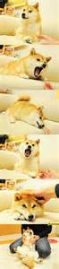 Original Doge Meme - best in show dogs toys dog breeds picture