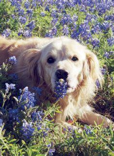 golden retriever puppies corpus christi tx 1000 images about animal on golden retrievers beagles and labrador