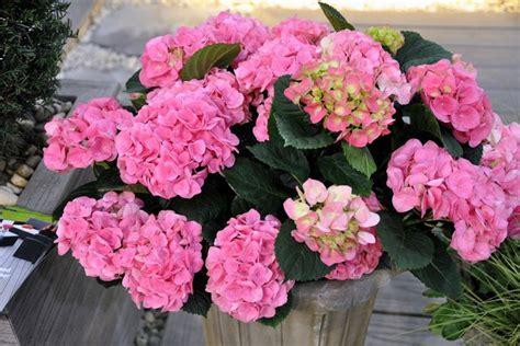 ortensia in vaso cura ortensia in vaso ortensia ortensia coltivazione in vaso