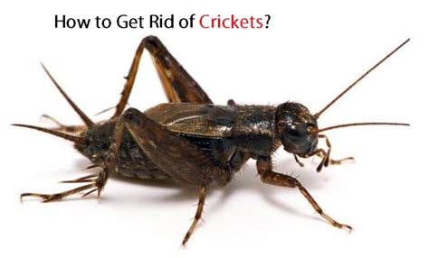 how to get rid of crickets in basement how to get rid of crickets