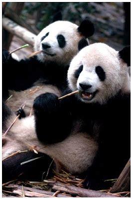 testa nella nella testa panda freenfo