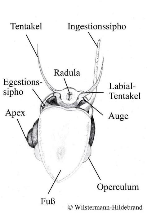 ab wann geschlecht erkennen wie alle insekten besitzen auch die bienen zwei grosse