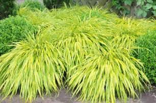 Decorative Grasses Full Sun Buy Golden Hakonechloa Hakonechloa Macra Aureola