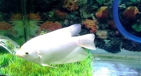 Makanan Ikan Hias Sepat ikan hias air tawar archives taman air aquascape
