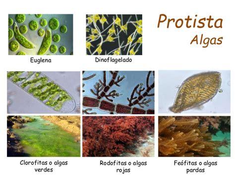 imagenes de algas pardas verdes y rojas clasificacion taxonomica