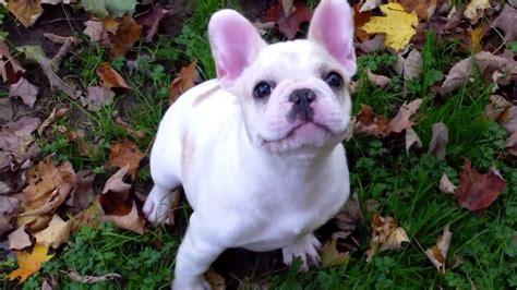 bulldog puppies maine bulldog puppies autumn in maine aristocrat bulldogs