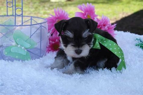 teacup puppies for sale in oklahoma 1000 ideas about teacup schnauzer on schnauzers miniature schnauzer and