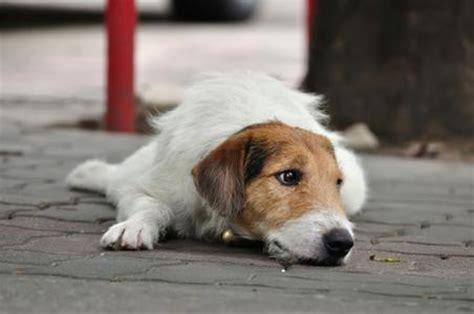beagle alimentazione corretta l amico a 4 ze 232 il miglior amico dell uomo