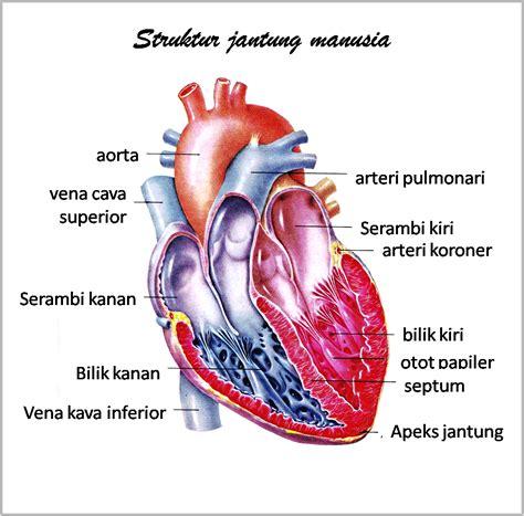 Is Jantung gambar anatomi organ tubuh manusia freewaremini