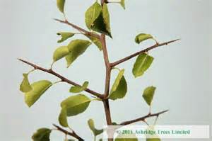 Monthly Fruit Delivery Wild Pear Plants Pyrus Communis For Sale Ashridge Trees