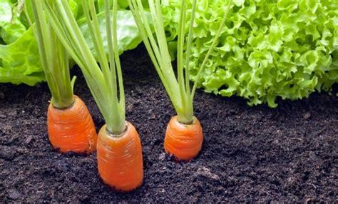 coltivare carote in vaso come coltivare le carote in vaso non sprecare