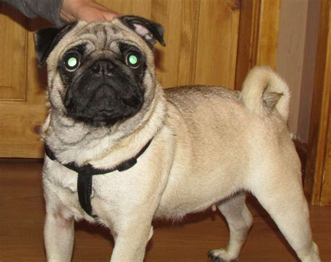 pug mating original pug breed breeds picture