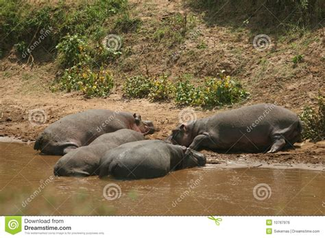 Hippo Nave hippopotamus fotografia stock immagine di hippo tropici