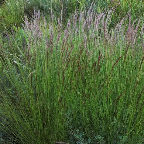 what is awn what is a grass awn aristida junciformis indigenous plant