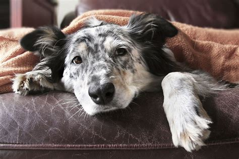 irritable bowel in dogs cure for inflammatory bowel in dogs