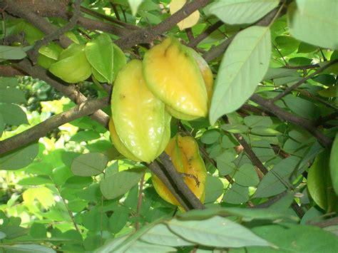 fruit trees for sale wisconsin file poh san teng fruit tree 2287 jpg wikimedia commons