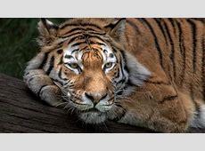 Wallpaper Siberian tiger, Amur tiger, HD, Animals, #3907 Ipad Wallpaper 768x1024