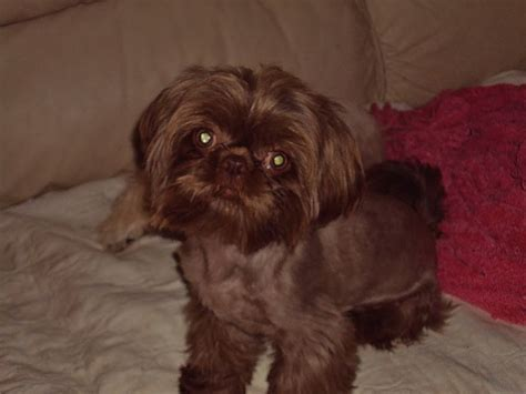 chocolate and white shih tzu 1000 images about the shih tzu cottage on alabama asian noodle recipes
