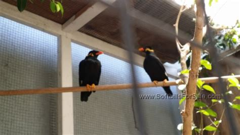 hill mynah for sale