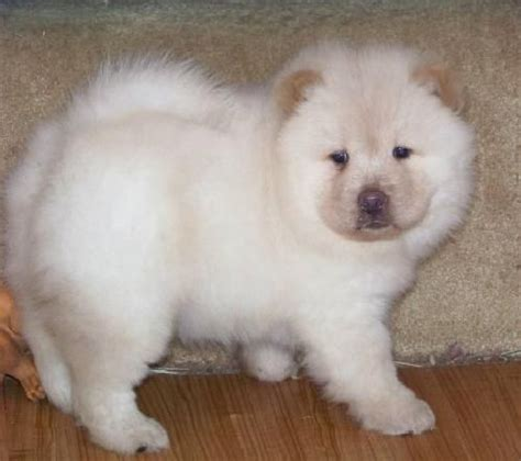 chow chow puppies for adoption chow chow puppy for sale adoption from louisiana louisiana caddo adpost