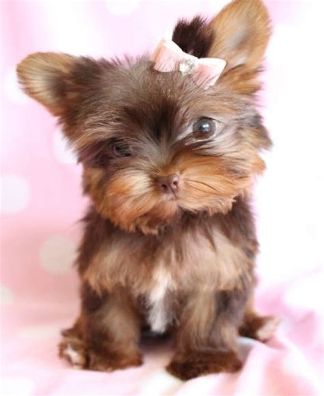 chocolate yorkies alaska chocolate yorkie cutest paw adorable animals chocolate yorkies and