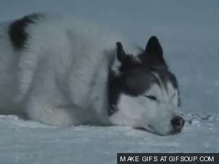 husky puppy gif husky puppy howl gif wroc awski informator internetowy wroc aw wroclaw hotele