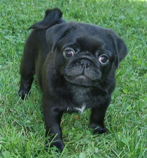 the pug from in black black pug puppy pug