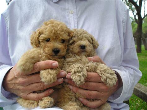 miniature poodle puppies miniature poodle photograph miniature poodle puppies jpg