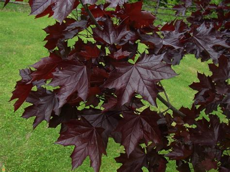 King House Maple Shade by Crimson King Maple Tree The Planting Tree