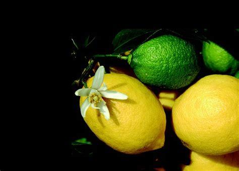 come curare il limone in vaso come curare il limone ital agro