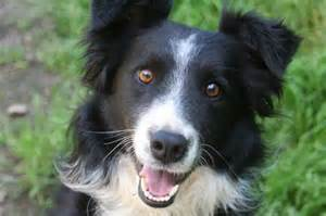 Border Collie Rescue Border Collie Rescue Wa Breeds Picture