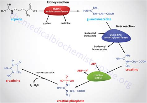 q es la creatine kinase amino acid derivatives catecholamine neurotransmitter