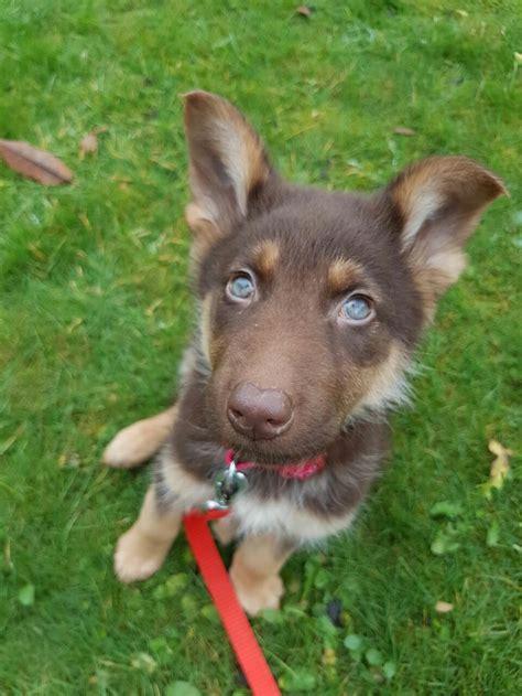 german shepherd puppies san diego best 25 blue german shepherd ideas on german shepherd pups jerman