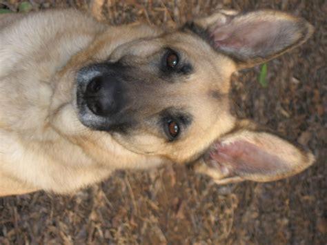 german shepherd expectancy german shepherd breed information puppies pictures