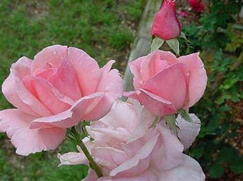 gambar bunga mawar terindah  terbaru