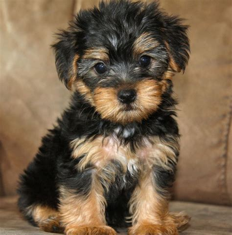 yorkie pomeranian mix hypoallergenic best 25 yorkie terrier mix ideas on