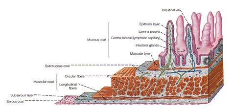 intestine cross section the intestines where nutrients food are assimilated